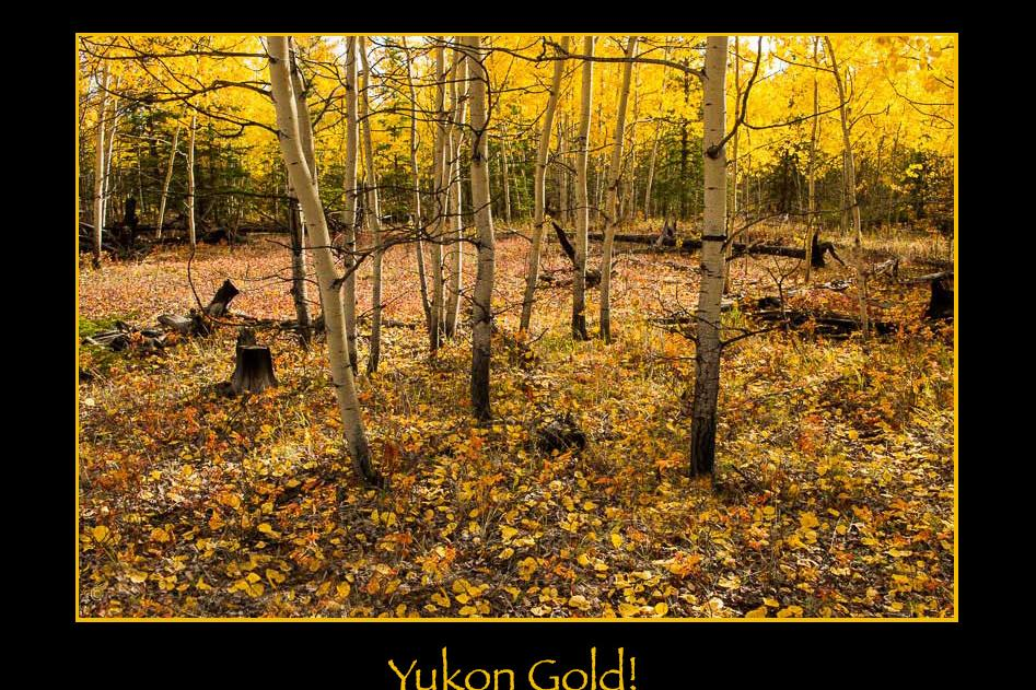 The golden colours of the Yukon in autumn are magic.