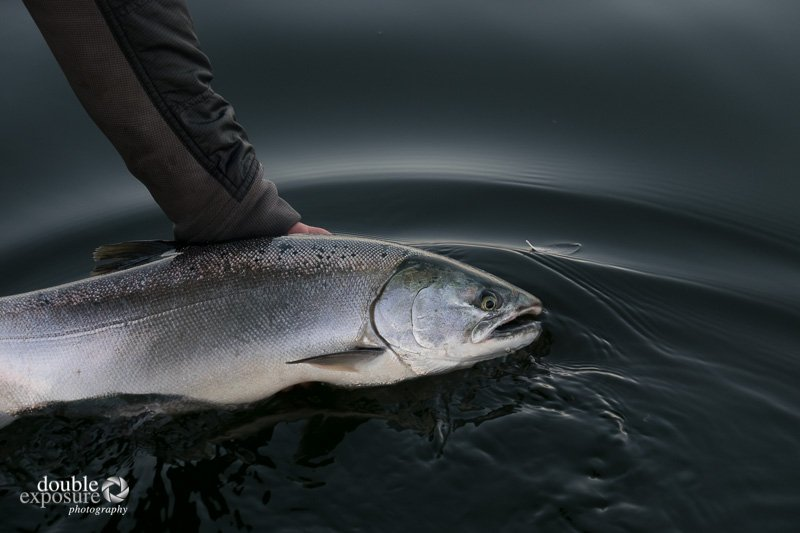 A Coho salmon waits quietly to be released back to freedom.
