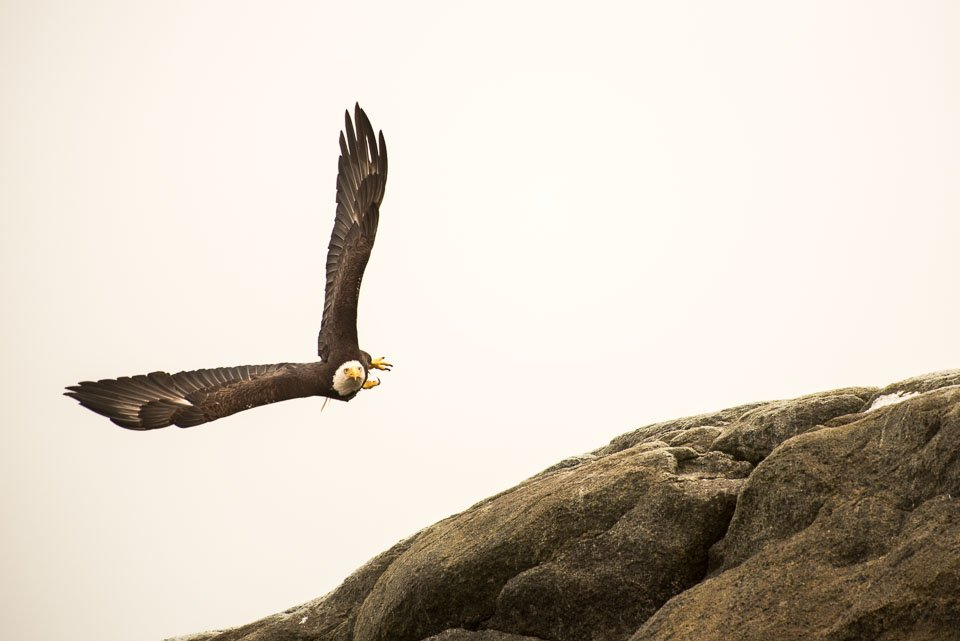 Eagle in flight over prey.