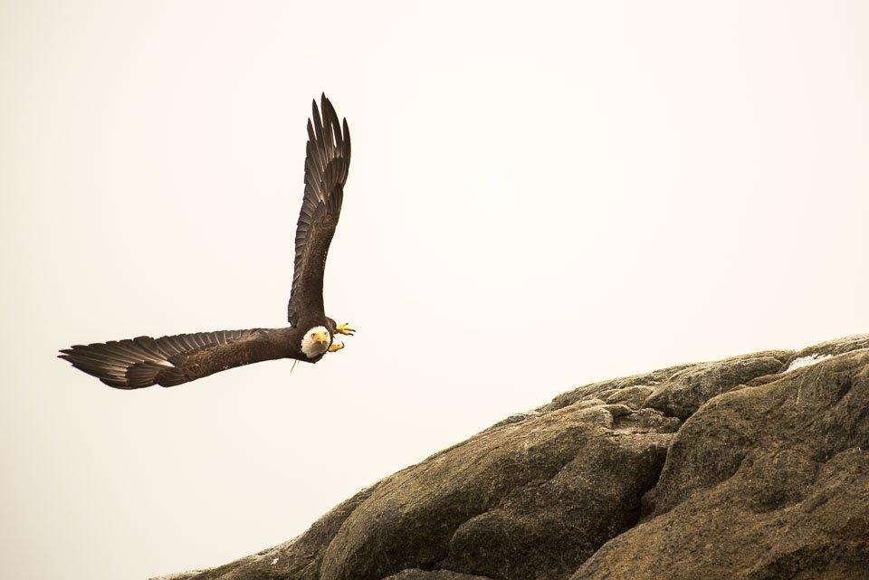 Eagle in flight over prey.