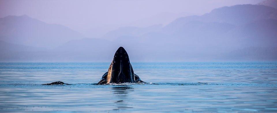 Humpback whale in British Columbia waters.