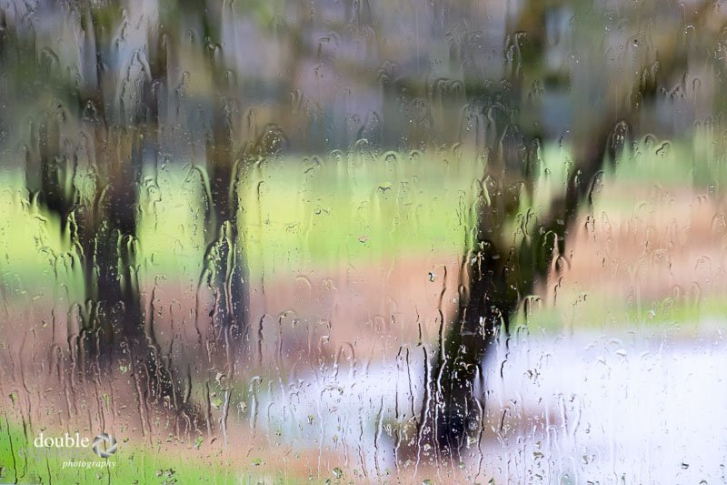 Willow trees in the rain
