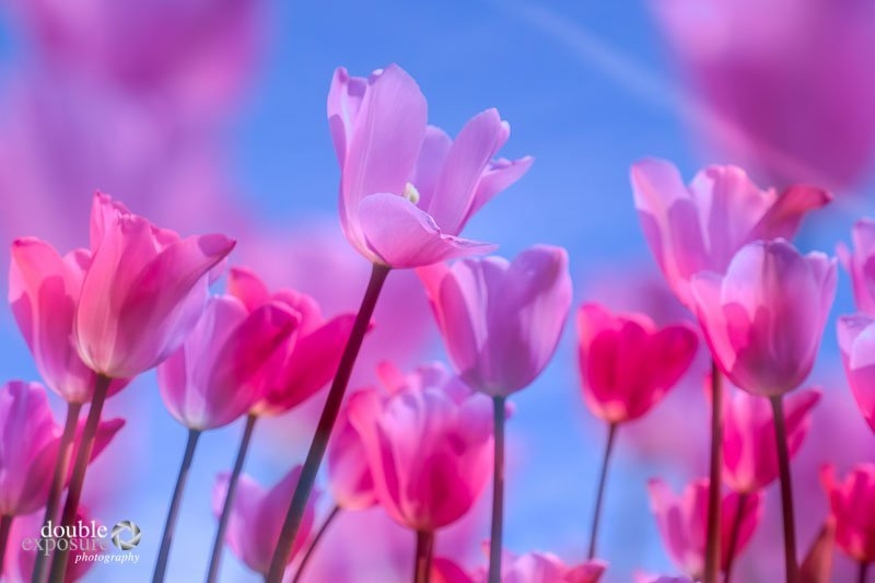tulip double exposure