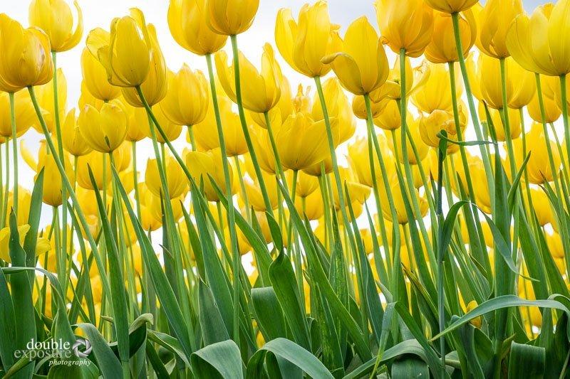 tulips reaching up
