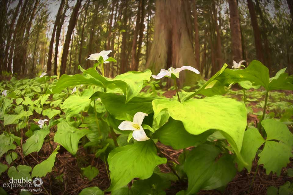 trilliums in forest