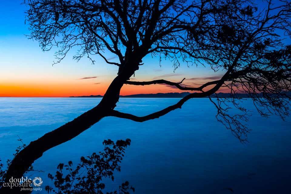 arbutus tree in sunset