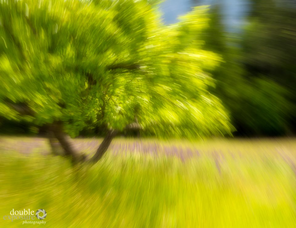 impressionistic view of tree and lupines.