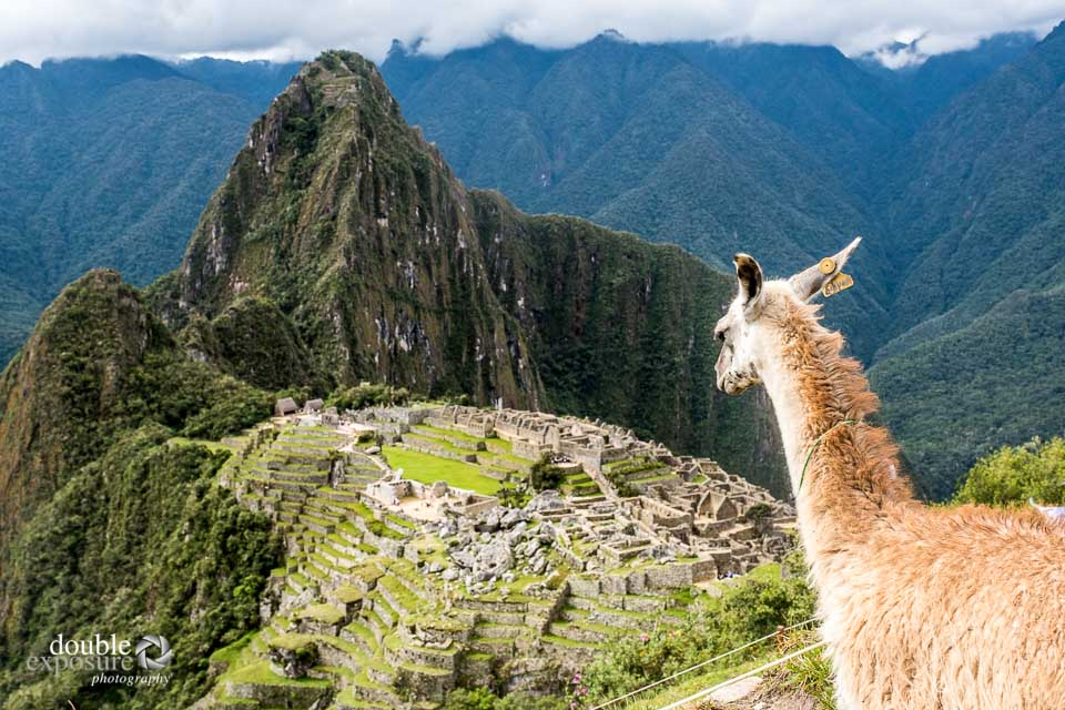 A llama guards over the Machu Picchu site.