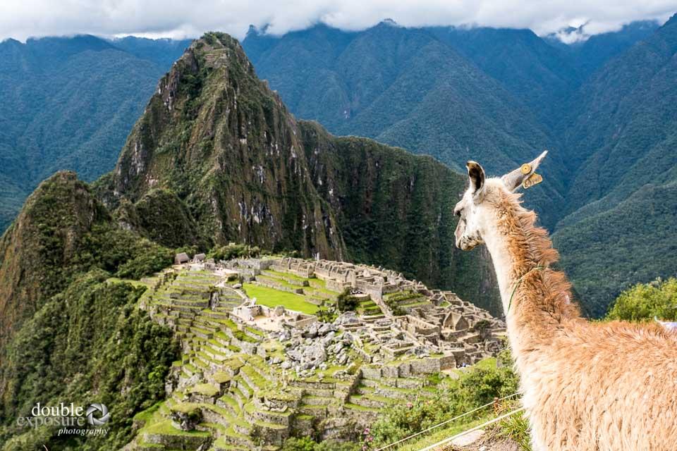 A llama guards over the Machu Picchu site.