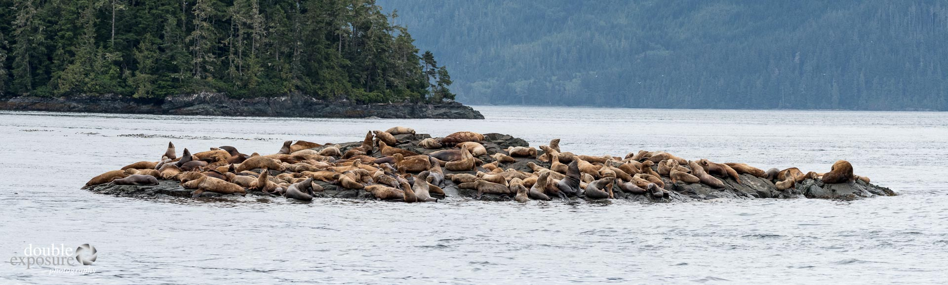 A group of male Sea Lions.