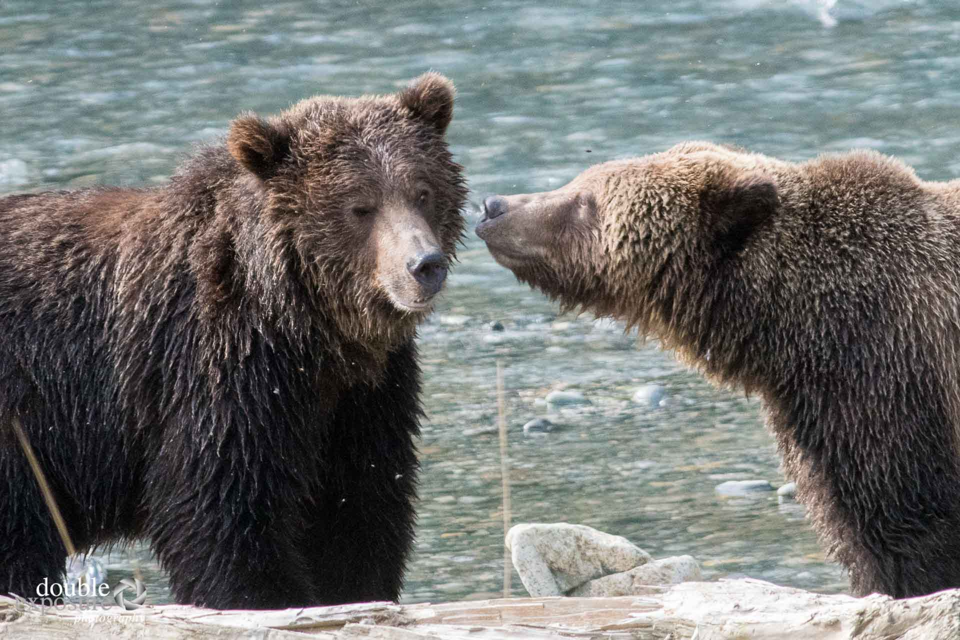 Two bears nuzzle.