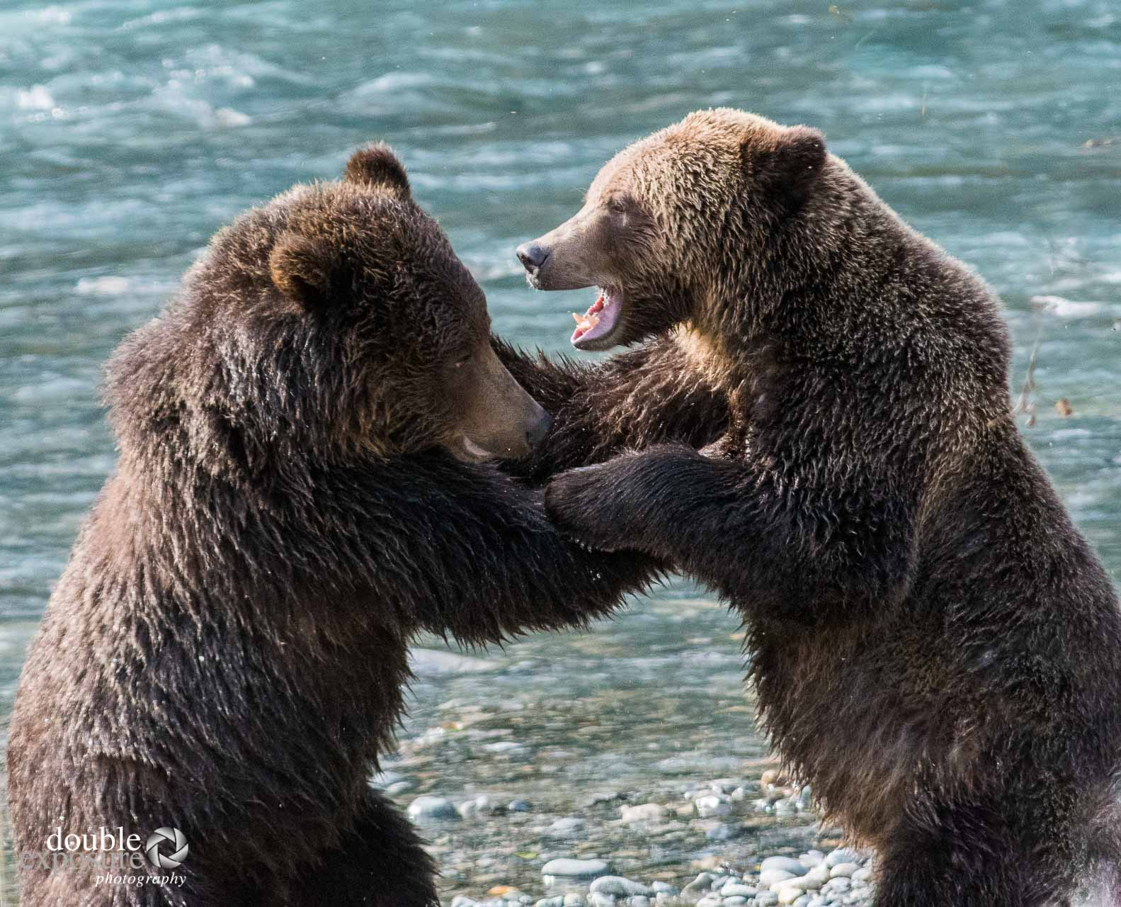 two grizzlies fight