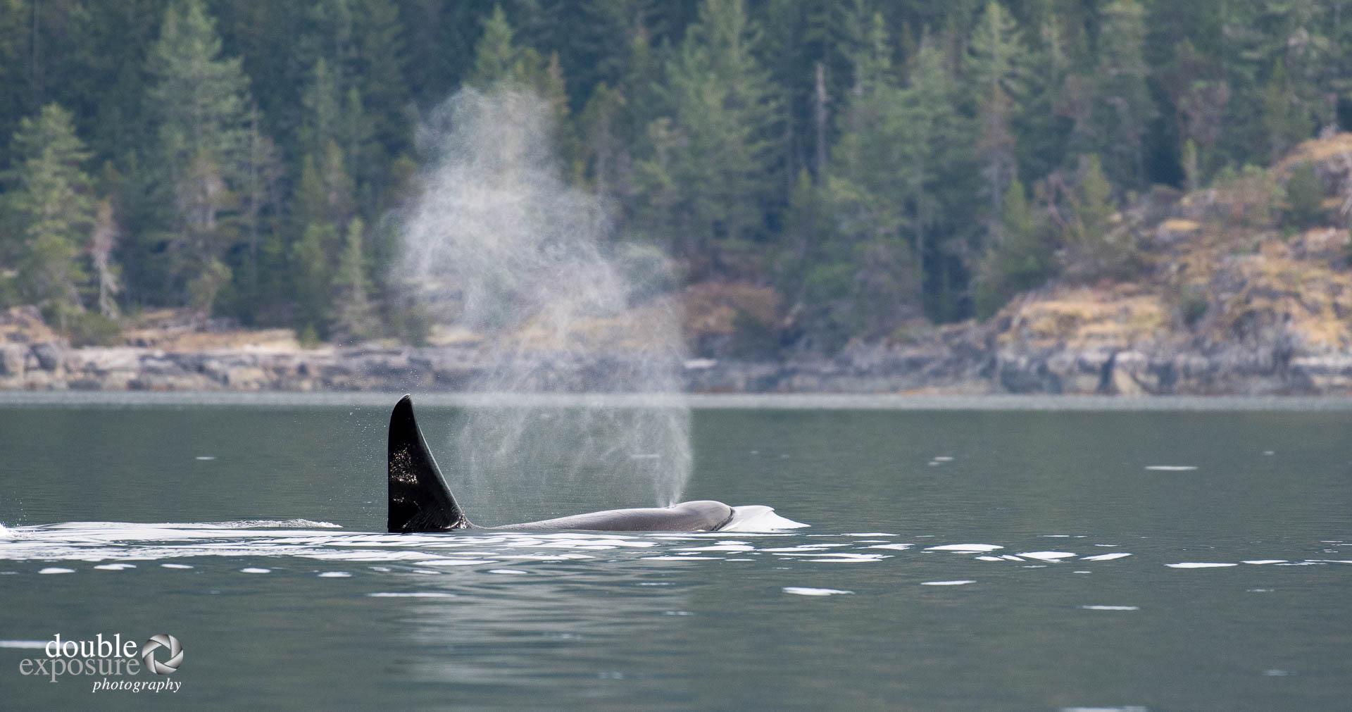 Orcas in the ocean