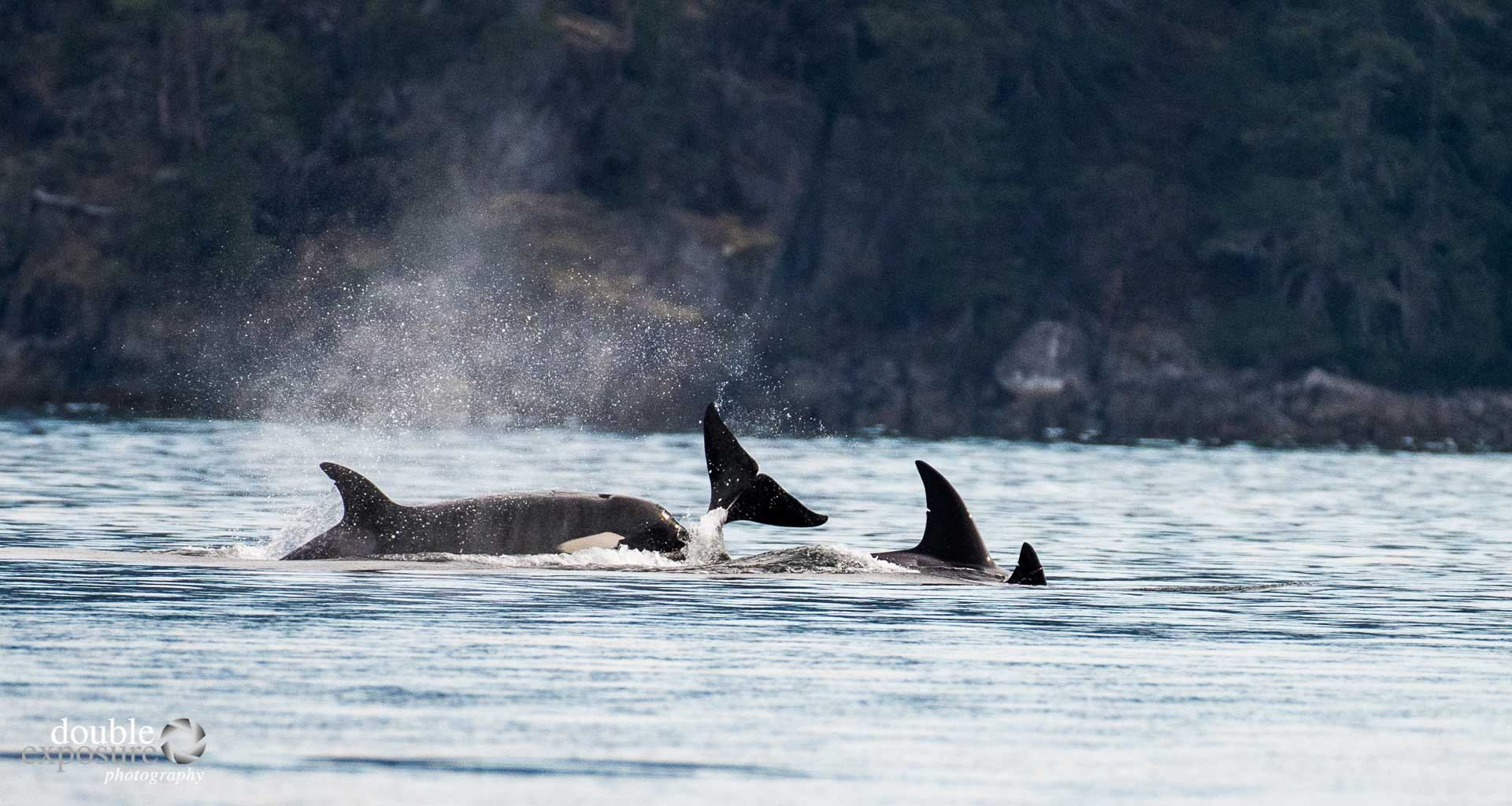 Orcas of BC