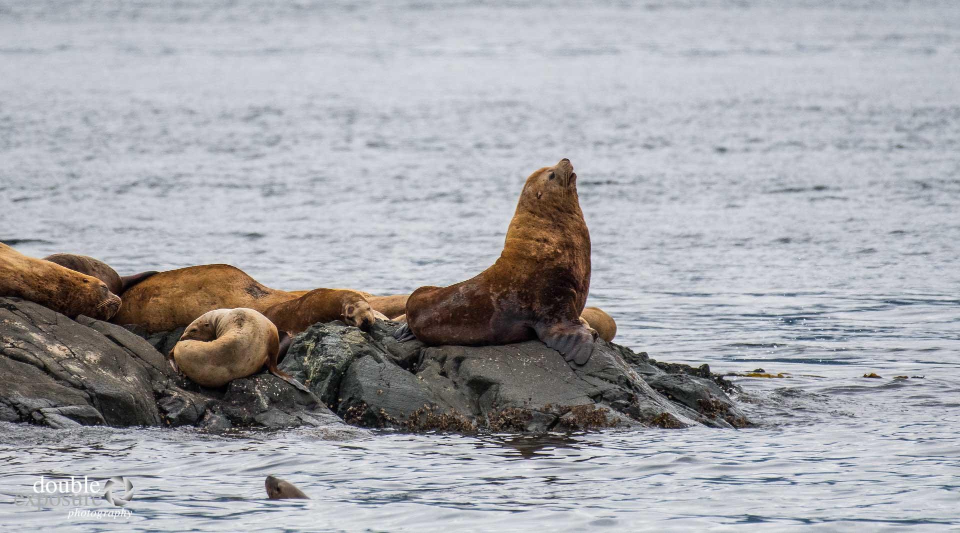 stellar sea lions on watch