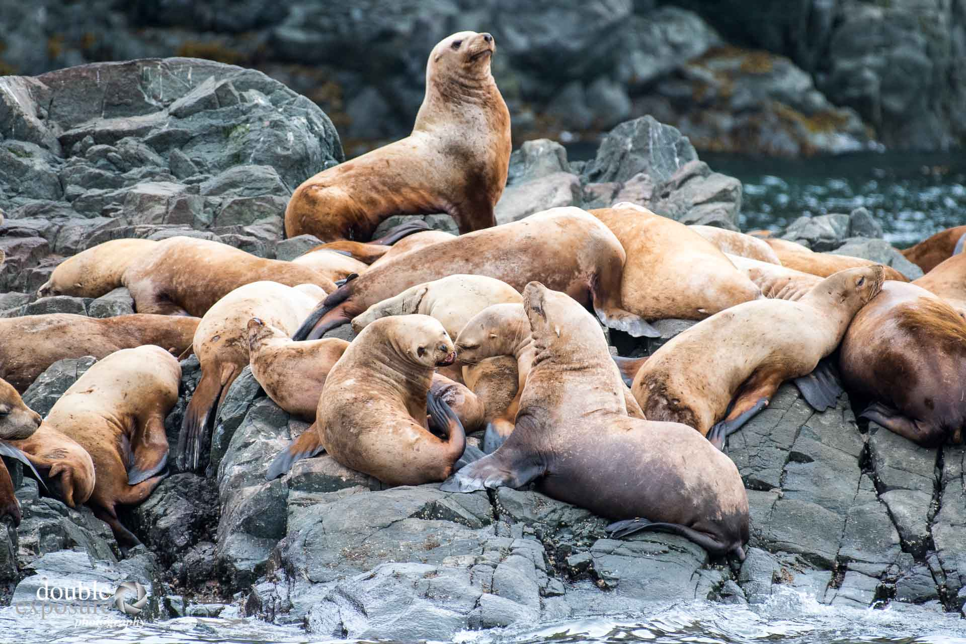 sea lions hauling out