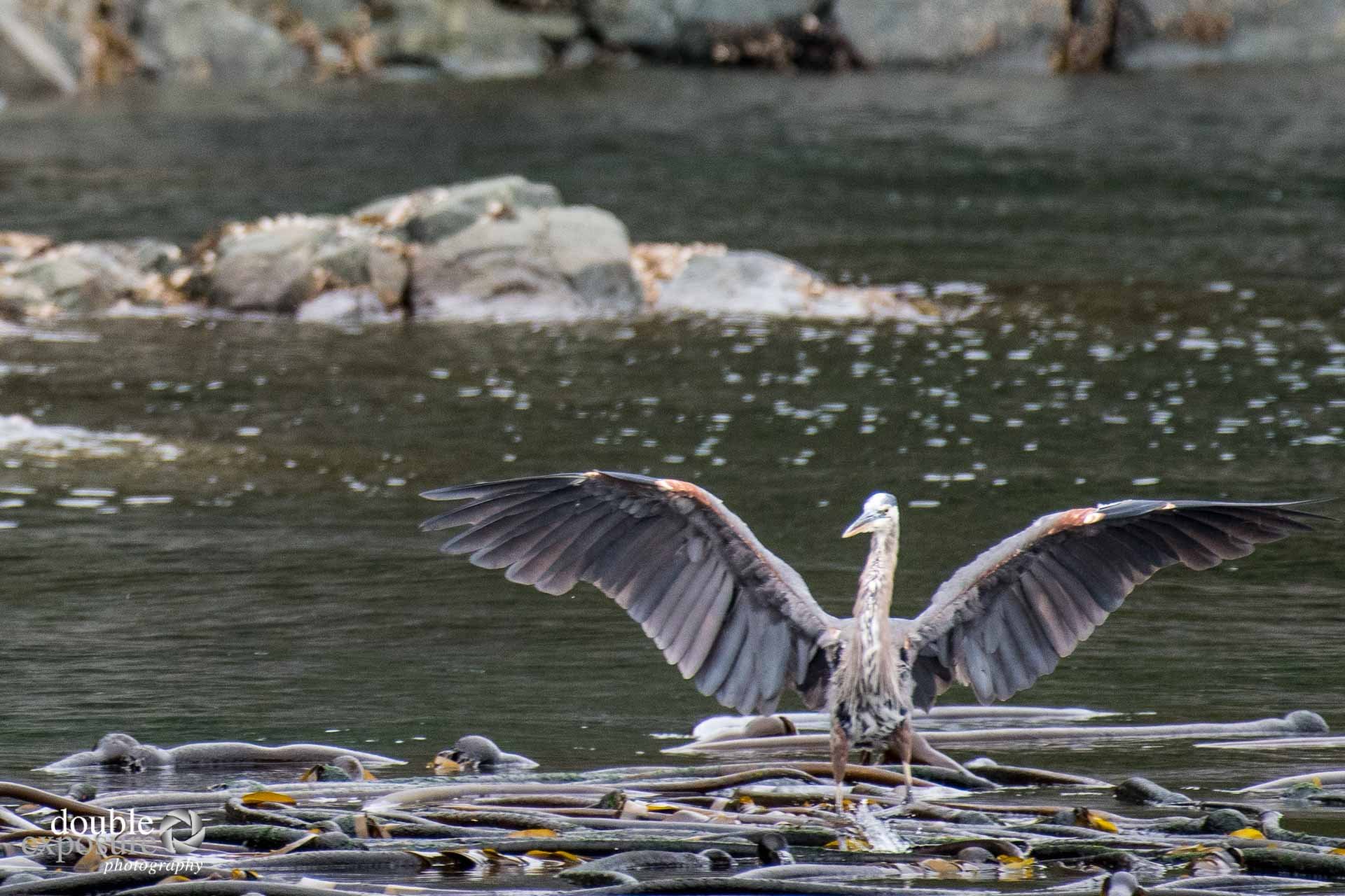great blue heron in the ocean shore.