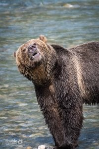 Grizzly bear in river.