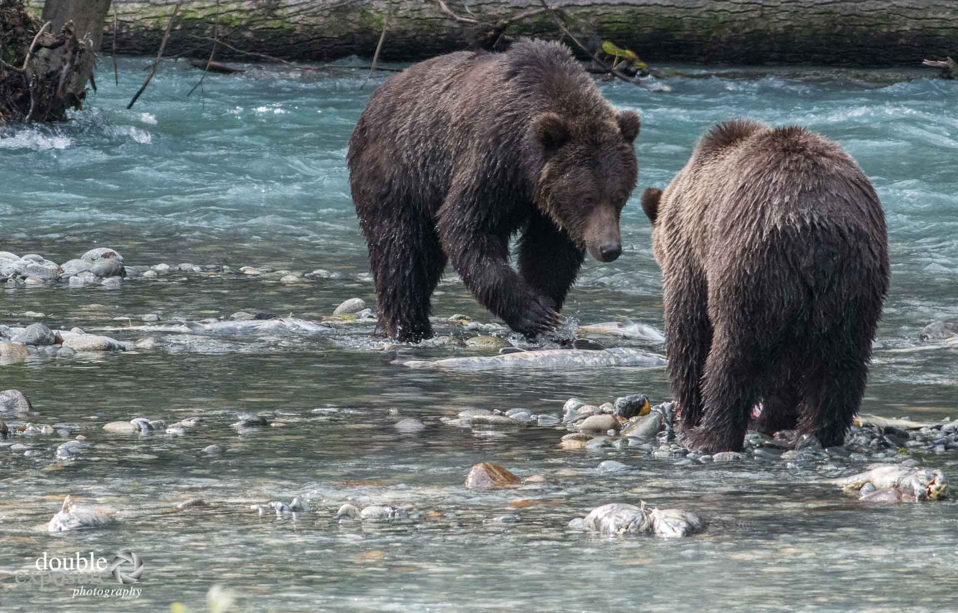 two bears confront each other