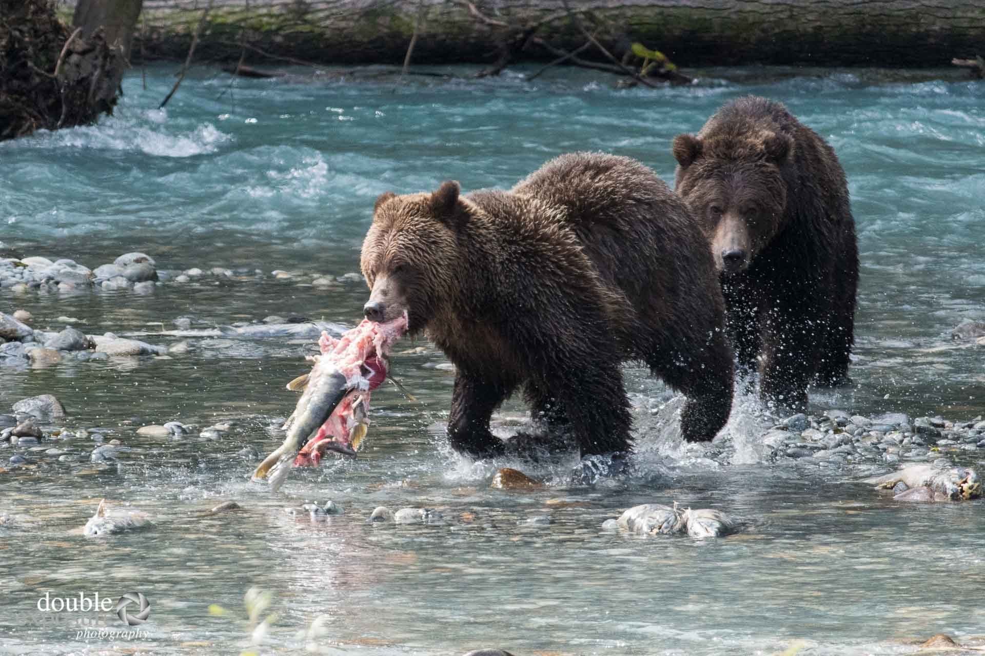 two bears chase one salmon