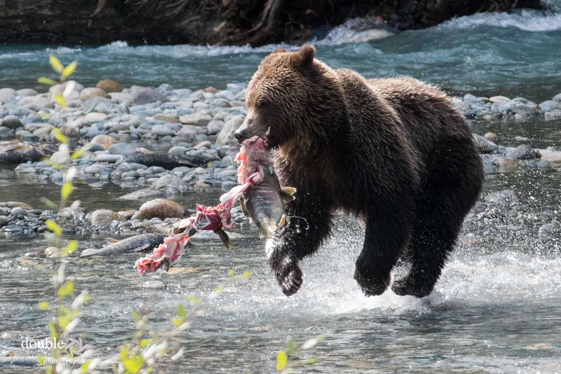 Bear running with salmon through river