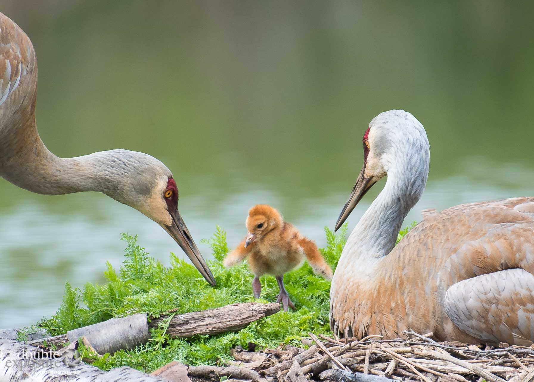 Two sandhill cranes look after young