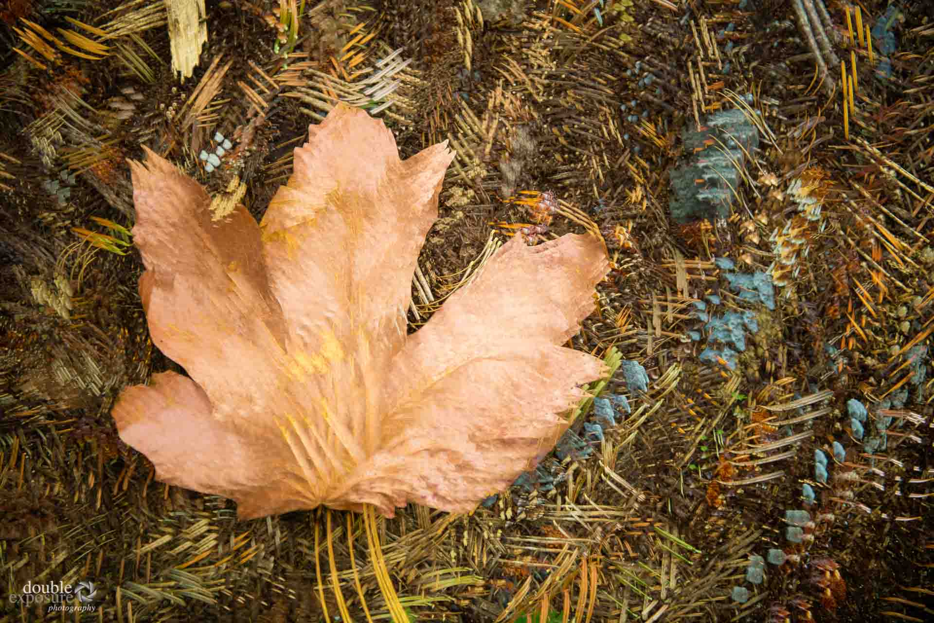 a maple leaf on the forest floor.