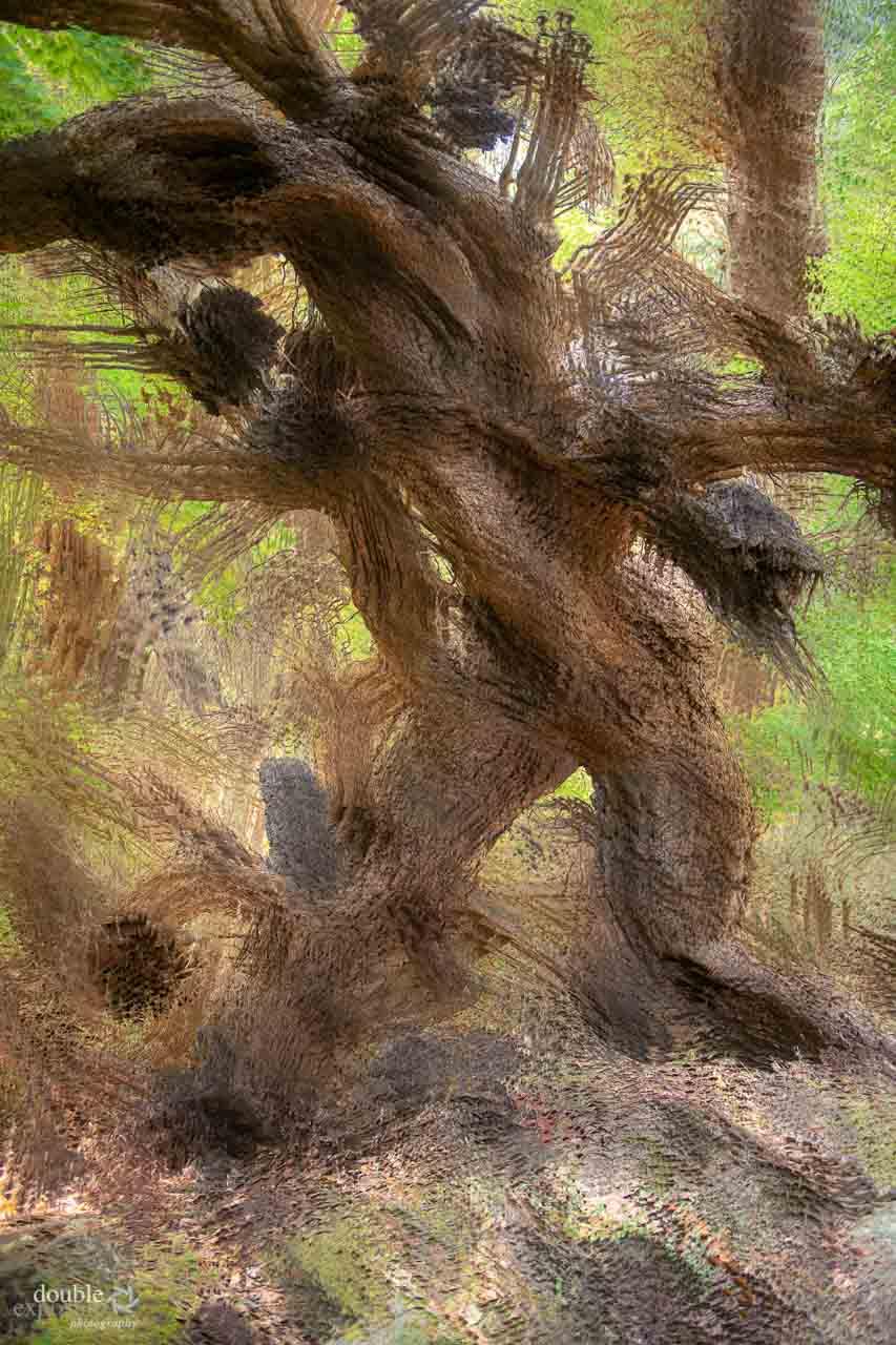Arbutus tree looks like a hairy sasquatch