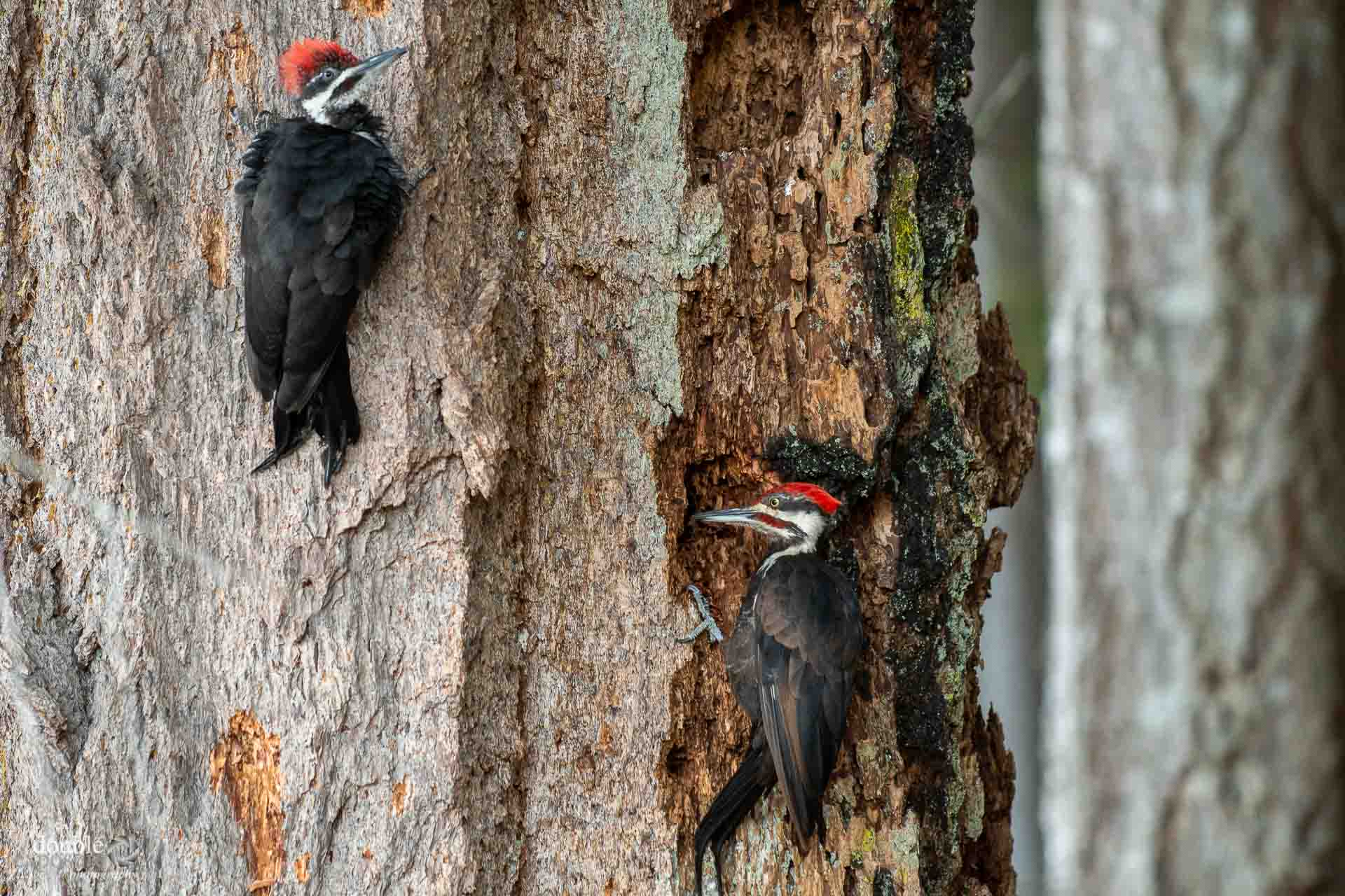 Two pileated woodpeckers at work