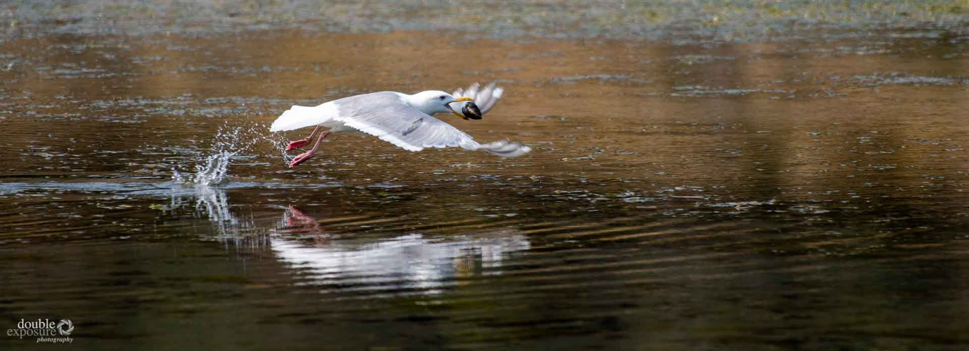 a seagull in flight with a clam shell in its mouth.