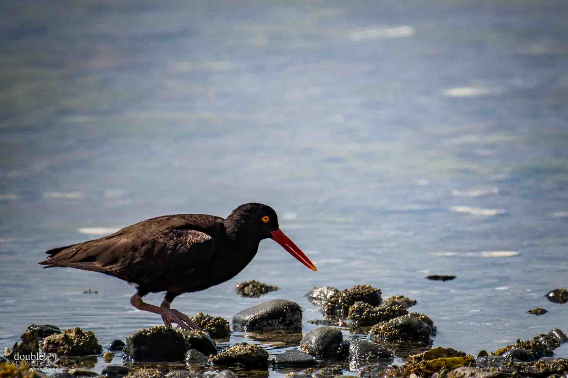 Oyster catcher at work
