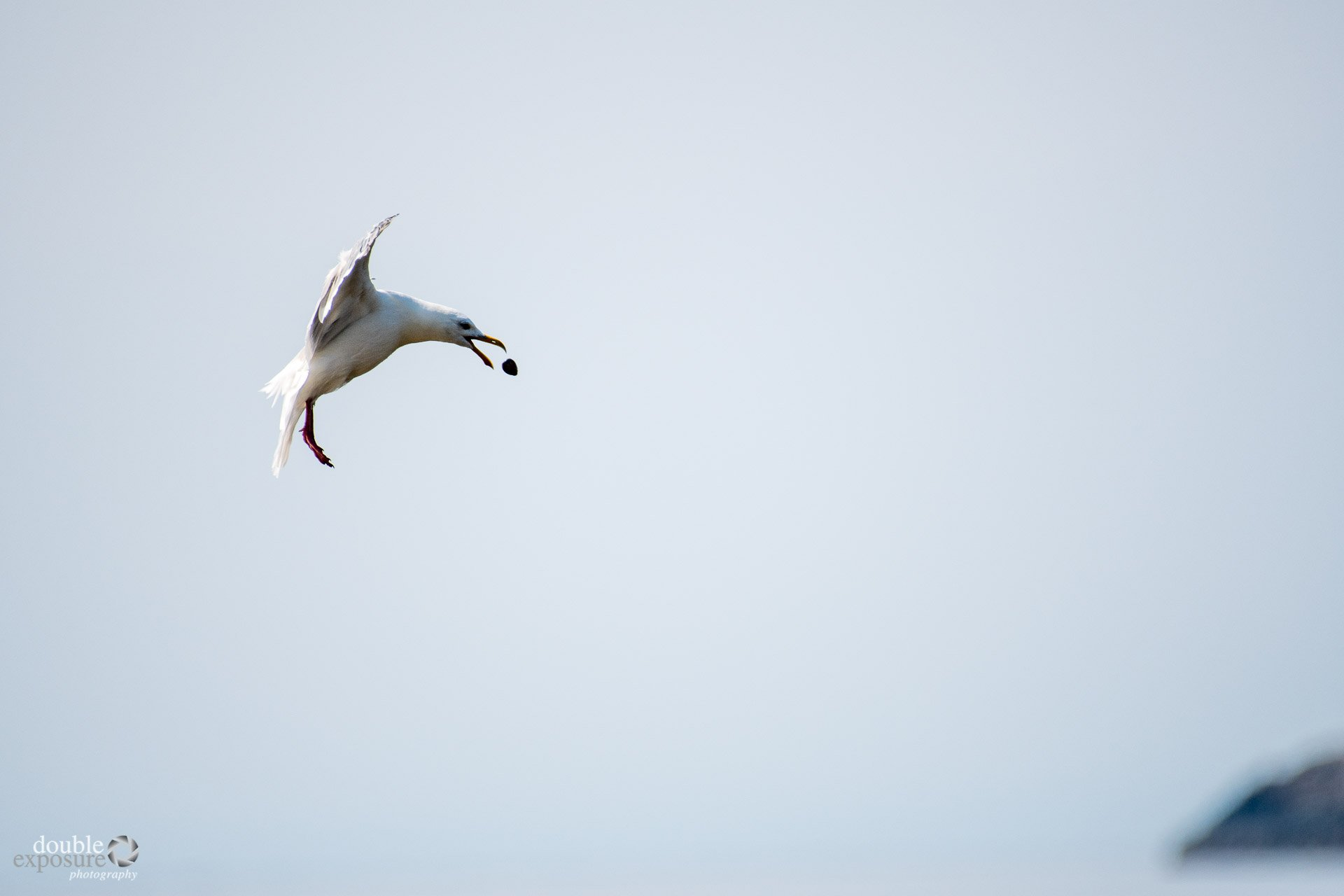 Seagull dropping a clam to crack the shell.