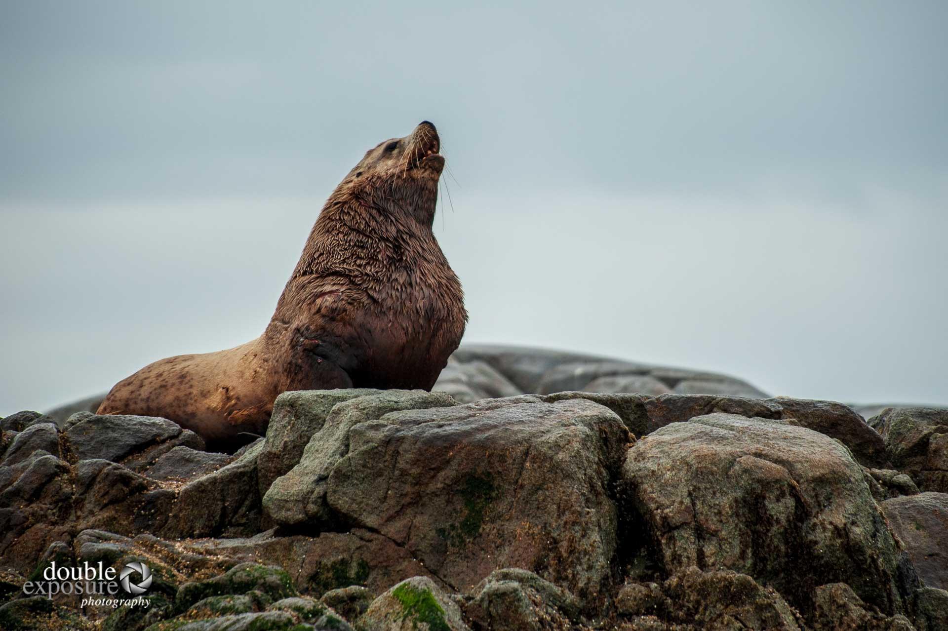 Sea Lion roaring on rocks