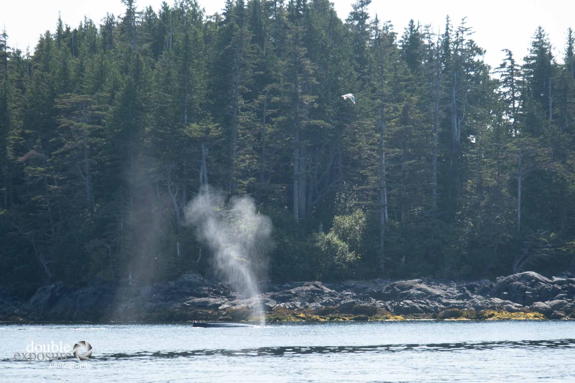 Humpback whales feeding close to shore