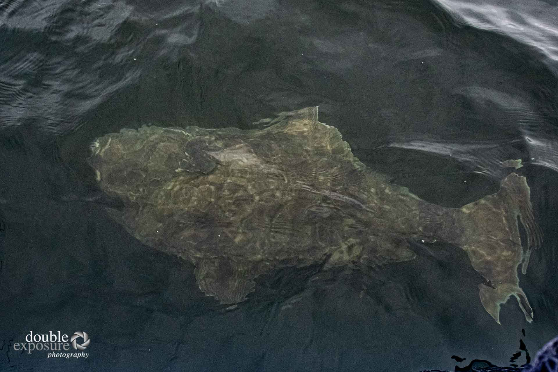 halibut next to boat