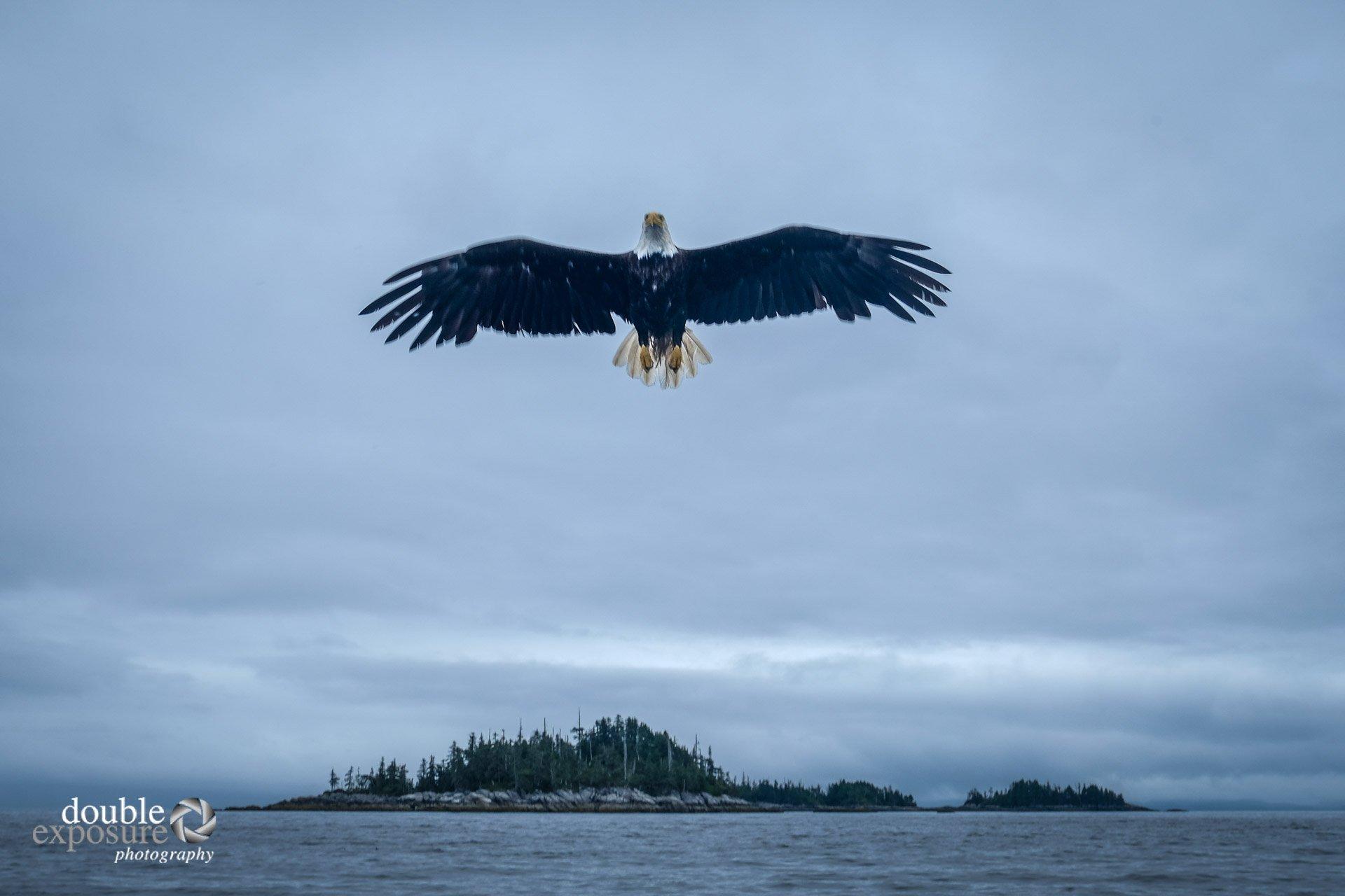 bald eagle flies vertically