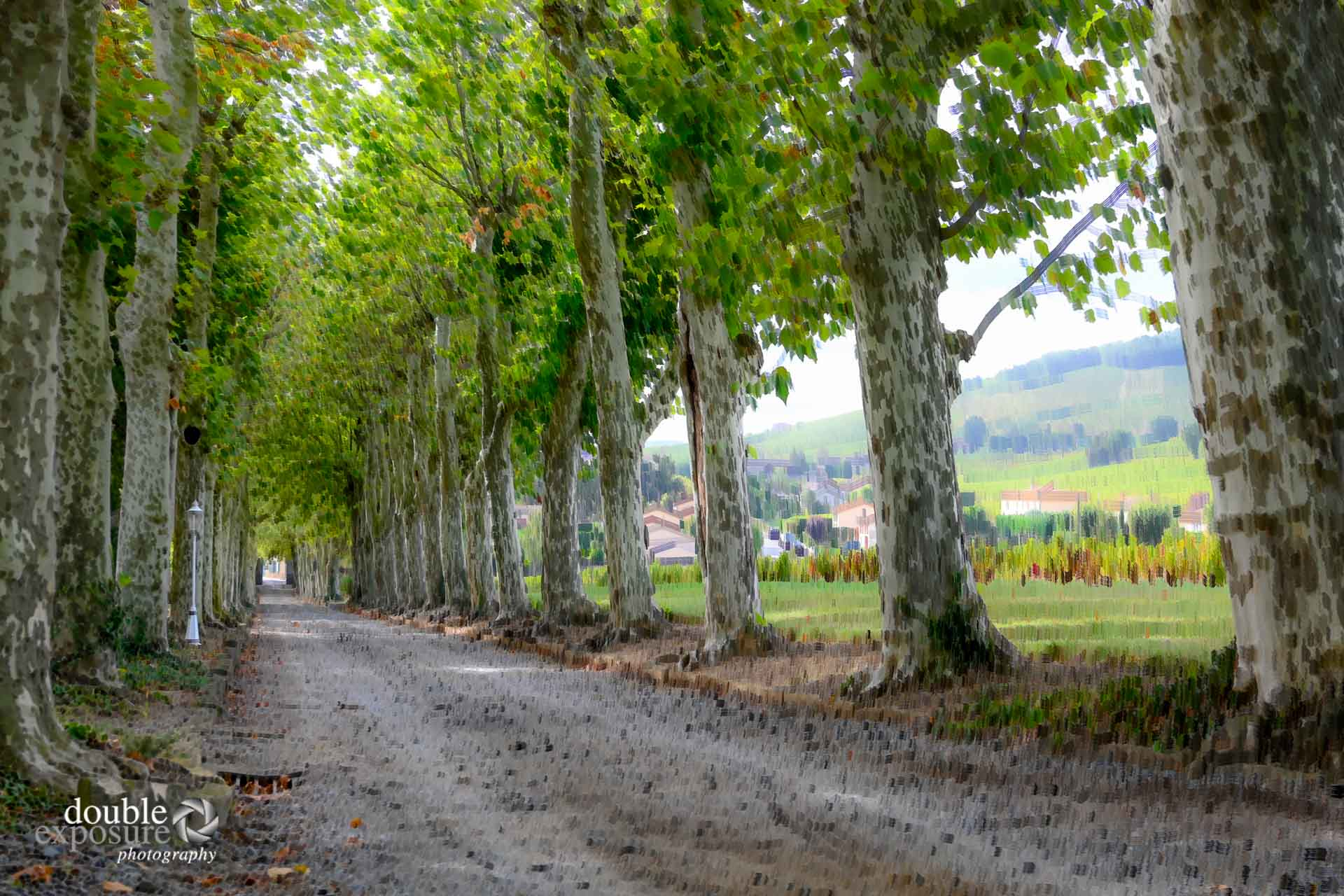 A road of plane trees