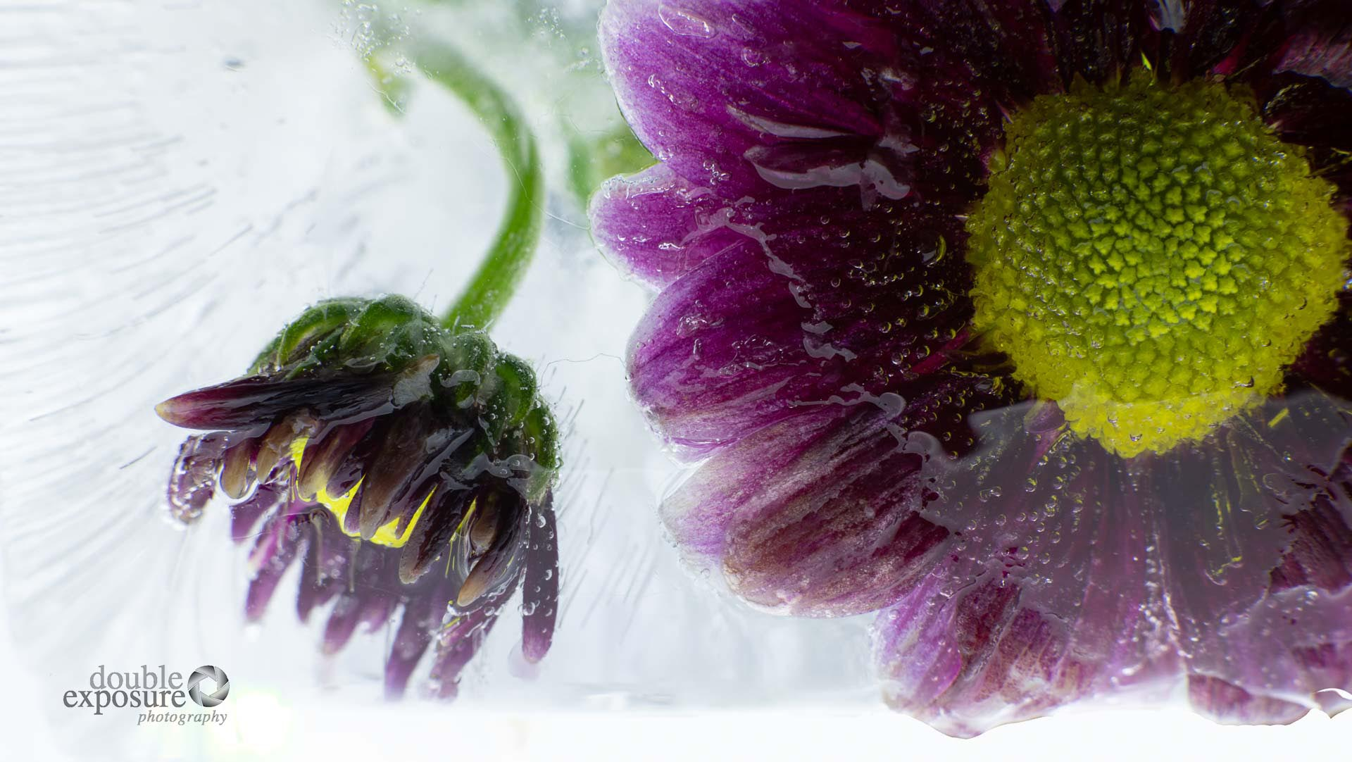 preserved on ice, two colourful flowers look out from their icy prison