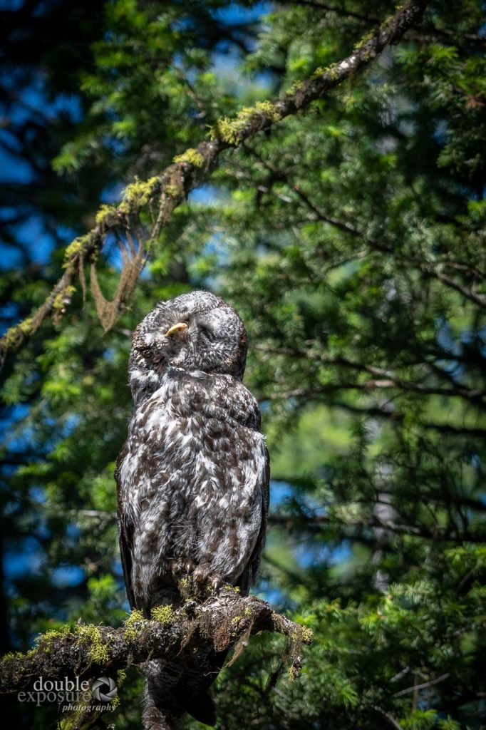 great grey owl in sunshine