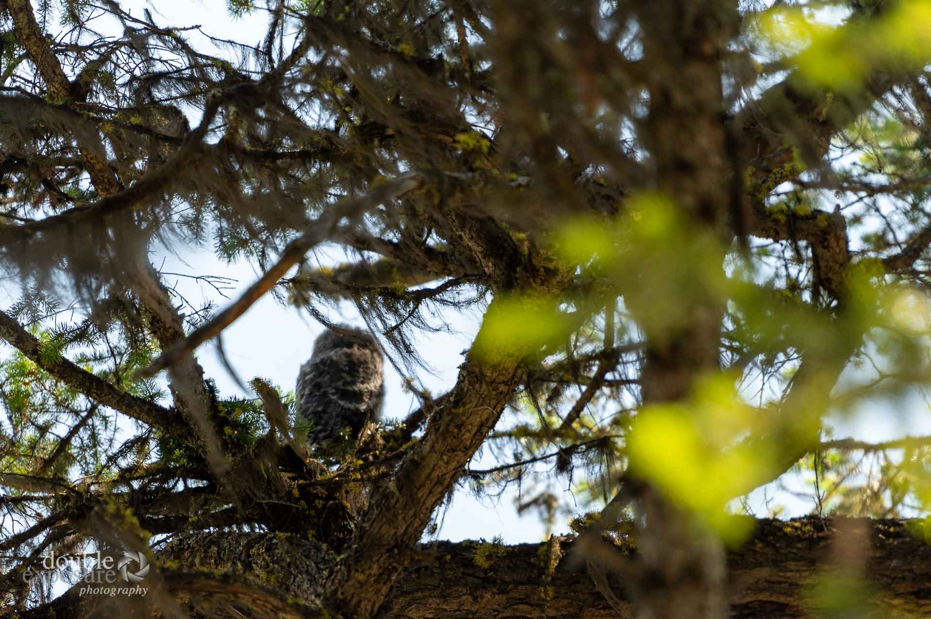 immature great grey owl