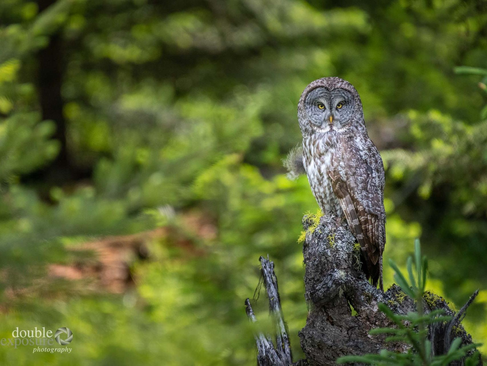 adult male great grey owl in forest
