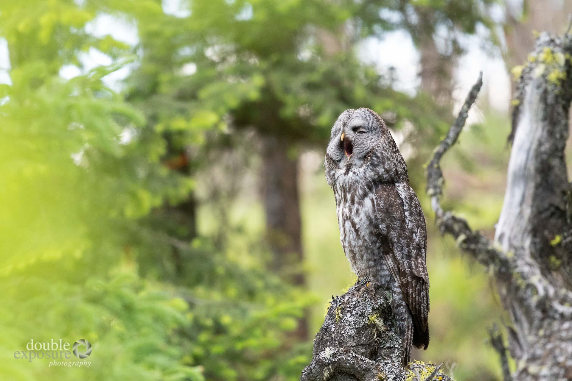 a great grey owl yawns