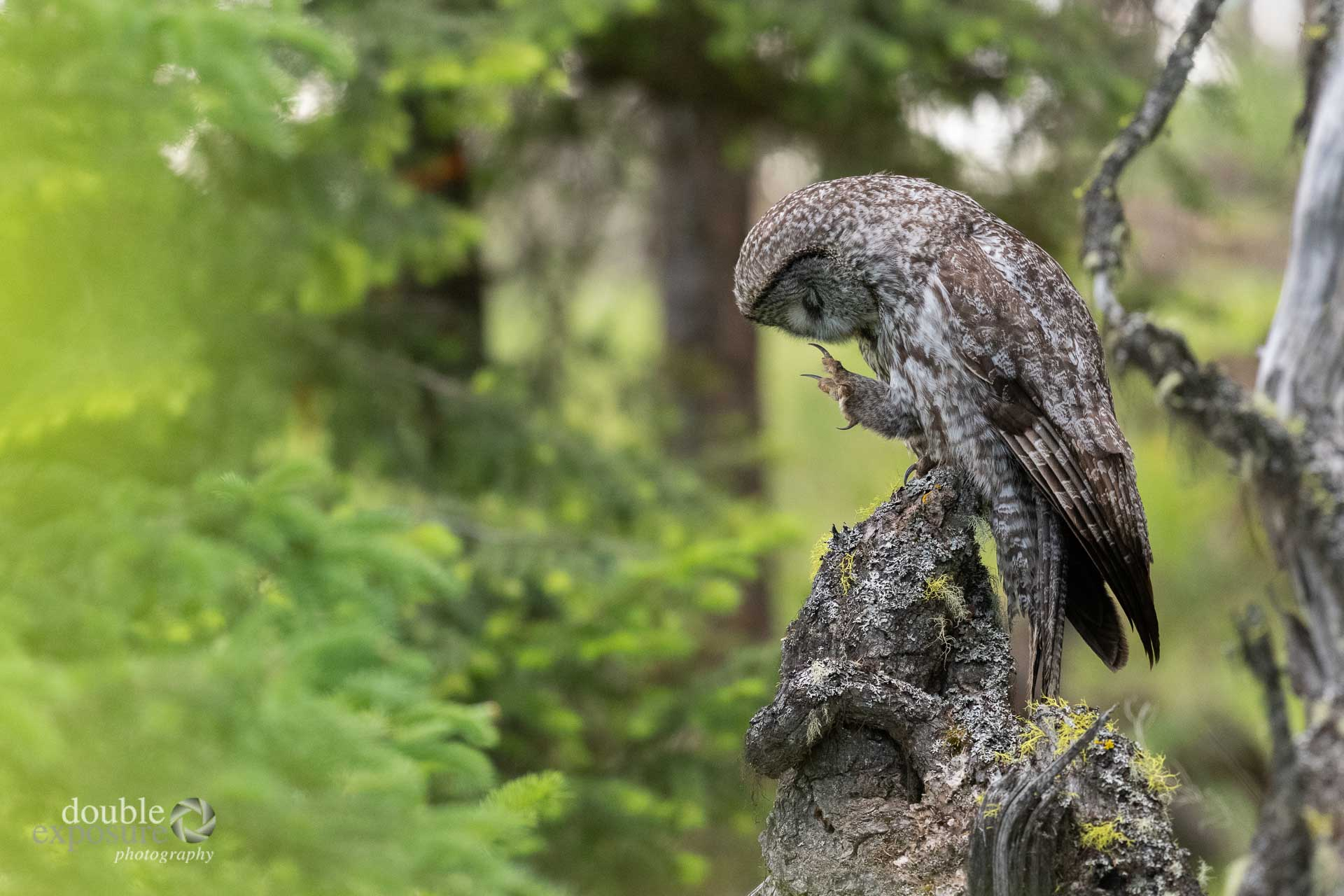 Great grey owl showing his talons